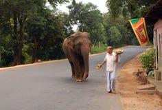 Elefante selvaggio sulla strada Immagini Stock