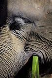 Elefante soddisfatto che mangia l'alimento vegetale Immagine Stock