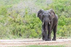 Elefante solamente en un agujero de riego rodeado por los arbustos verdes imágenes de archivo libres de regalías