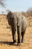Elefante solitario Fotografía de archivo
