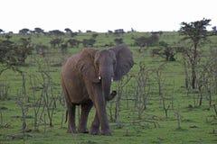 Elefante solitario del bebé Fotos de archivo libres de regalías