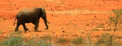 Elefante solitario en la salida del sol Fotografía de archivo libre de regalías