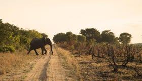 Elefante solo Imagen de archivo libre de regalías