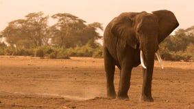 Elefante solo in Amboseli Fotografia Stock