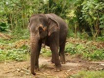 Elefante, Sri Lanka Fotografie Stock
