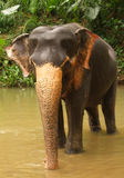 Elefante, Sri Lanka Immagini Stock Libere da Diritti