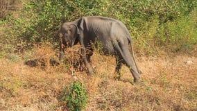 Elefante srilanqués almacen de metraje de vídeo
