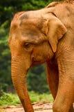 Elefante srilanqués Imagen de archivo libre de regalías