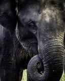 Elefante srilanqués del bebé que come la comida imágenes de archivo libres de regalías