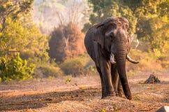Elefante su Dusty Flood Plain del parco nazionale di Bandipur Fotografia Stock