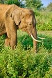Elefante sul safari nello Sri Lanka fotografia stock
