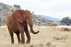 Elefante Suráfrica Fotografía de archivo libre de regalías