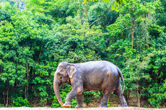 Elefante tailandés Foto de archivo