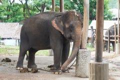 Elefante tailandés Imágenes de archivo libres de regalías