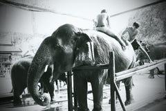 Elefante tailandés Fotografía de archivo libre de regalías