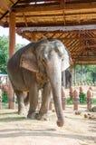 Elefante tailandés Imagen de archivo libre de regalías