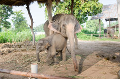 Elefante tailandés Foto de archivo libre de regalías