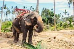 Elefante tailandés con el banco para emigrar Foto de archivo