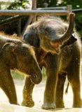 Elefante tailandés del becerro, Tailandia Foto de archivo