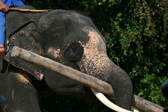 Elefante tailandês Fotos de Stock Royalty Free