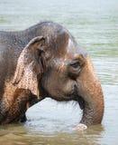 Elefante tailandês Fotografia de Stock Royalty Free