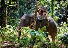 Elefante tailandês Foto de Stock Royalty Free