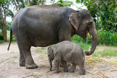 Elefante tailandês Imagem de Stock