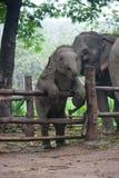Elefante tailandês do bebê Fotografia de Stock Royalty Free