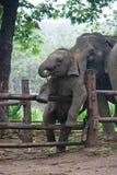 Elefante tailandês do bebê engraçado Imagens de Stock