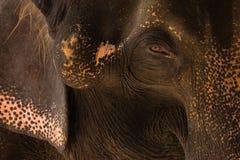 Elefante tailandês do close-up com olhos tristes Fotografia de Stock Royalty Free