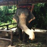 Elefante tailandês pronto para montá-lo fotos de stock