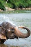Elefante tailandese Immagini Stock