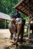 Elefante tailandese con i precedenti della foresta Gli elefanti tailandesi sono classificati come elefanti indiani fotografie stock