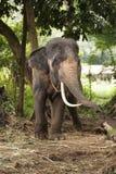 Elefante in Tailandia Fotografia Stock Libera da Diritti