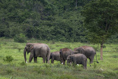 Elefante Tailandia dell'Asia Fotografie Stock
