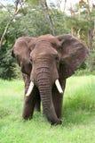 Elefante in Tanzania Fotografie Stock Libere da Diritti