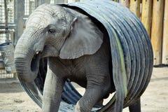 Elefante in un barilotto Fotografia Stock