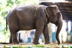 Elefante in un fram Fotografia Stock Libera da Diritti