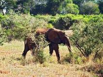 Elefante velho Fotografia de Stock