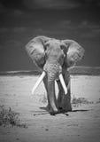 Elefante velho Fotos de Stock Royalty Free