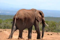 elefante velho Imagens de Stock