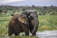 Elefante velho Bull no parque nacional de Akagera Fotos de Stock