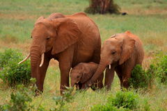 Elefante vermelho - as gerações Fotos de Stock Royalty Free
