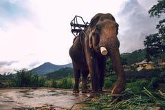Elefante vietnamita Fotografia Stock Libera da Diritti