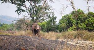 Elefante vietnamita salvaje en naturaleza almacen de metraje de vídeo
