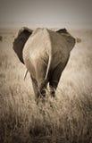 Elefante, visión trasera Imágenes de archivo libres de regalías