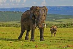Elefante y búfalo en el parque de Addo Foto de archivo libre de regalías
