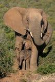 Elefante y bebé de la madre Foto de archivo libre de regalías