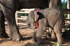 Elefante y becerro tailandeses, provincia de Surin, Tailandia imagenes de archivo