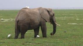Elefante y garcetas en Kenia almacen de metraje de vídeo